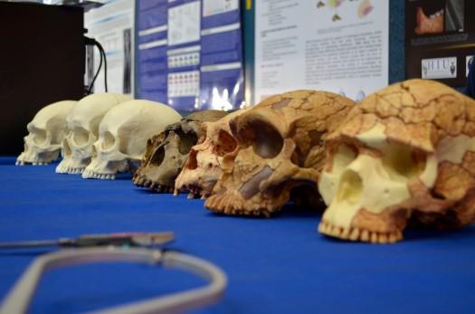 Where's your head at?  Adisplayof skulls at the Wits National Science Week fair. Photo: Pheladi Sethusa