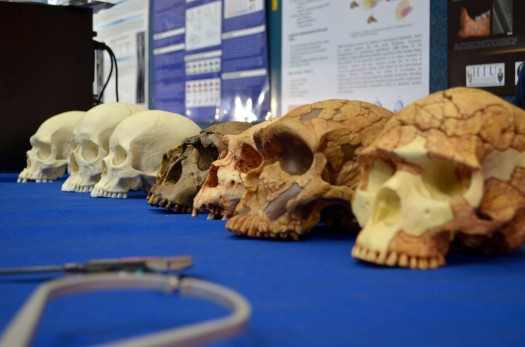 Where's your head at?  Adisplayof skulls at the Wits National Science Week fair. Photo: Pheladi Sethusa